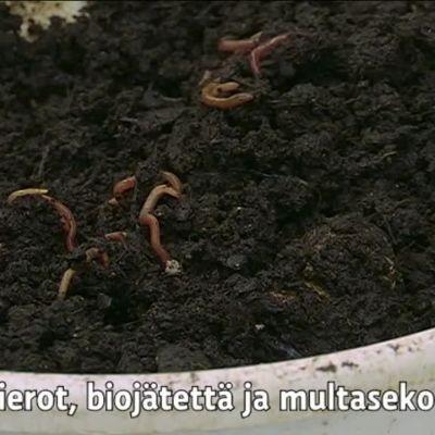 Yle Uutiset Pirkanmaa: Perusta oma matokompostori – jo 25 lierolla pääset alkuun