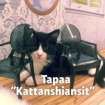 """Uutisvideot: Tapaa """"Kattarshiansit"""" - Islannin kuuluisimmat kissat"""