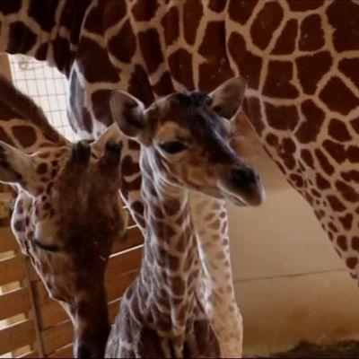Uutisvideot: Kirahvi sai poikasen suorassa lähetyksessä