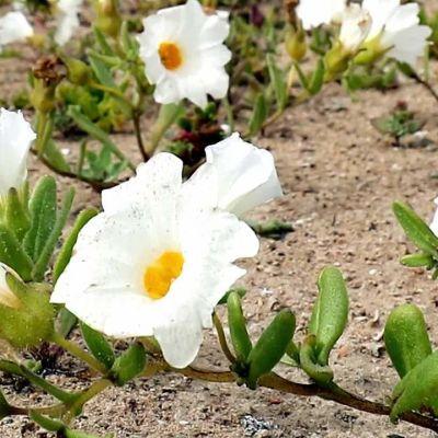 Uutisvideot: Yllätyssade sai autiomaan kukkimaan