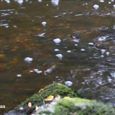 Ylen aamu-tv: Pelastetaan vaelluskalat