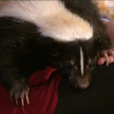 Ylen aamu-tv: Kun lemmikkinä on haisunäätä