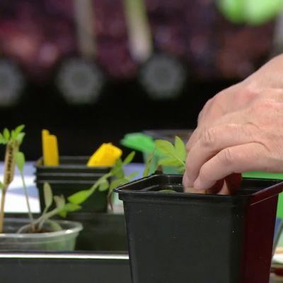 Ylen Aamu-tv: Nyt on kasvien esikasvatuksen aika