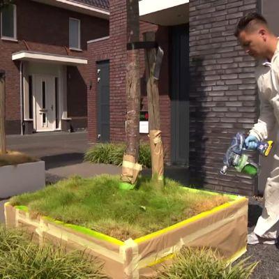 Torkat gräs färgas med grön sprejfärg i Nederländerna.