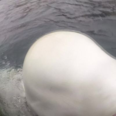 Valjaissa uiskennellut maitovalas hämmentää Pohjois-Norjassa – karkasiko eläin Venäjän laivastolta?