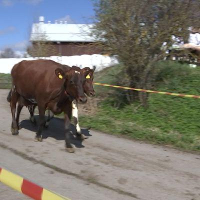 Suomen urbaaneimmat lehmät pääsivät kesälaitumelle