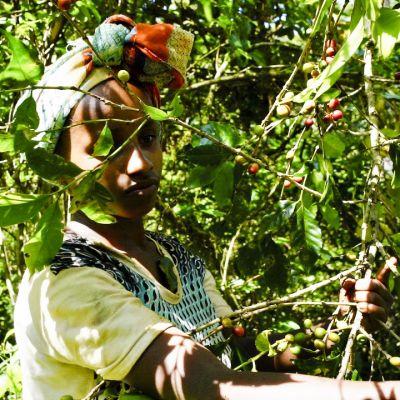 Nuori nainen poimii kahvipapuja Etiopiassa.