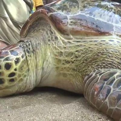 havssköldpadda