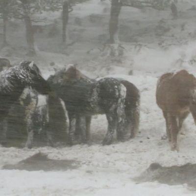 Kymmeniä hevosia kuoli kylmyyteen Islannissa