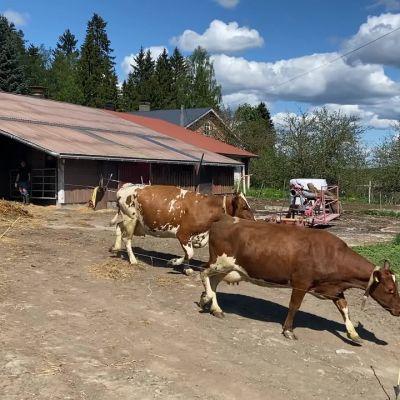 Lehmät pääsivät Porrassalmella laitumelle