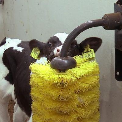 600 vasikkaa testaa karjaharjaa ja kirmaa ilosta