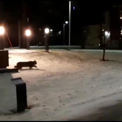 Yöhoitaja Satu Mäkinen kuvasi ilveksen vanhainkodin pihalla yöllä Tampereella