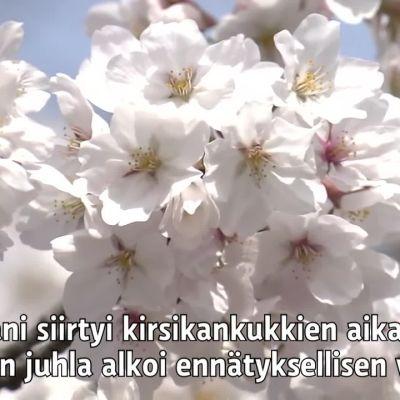 Japani siirtyi kirsikankukkien aikaan - keväinen juhla alkoi ennätyksellisen varhain