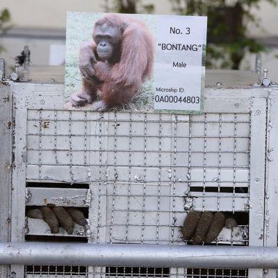 Orangin sormet pistävät esiin metallilaatikon raoista. Laatikkoon kiinnitetty kuva ja teksi kertovat, että eläin numero kolme on uros ja nimeltään Bontang.