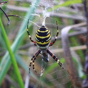 Vad är för spindel Arvid och Emelie har hittat?