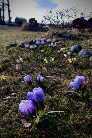 blomknoppar på gård