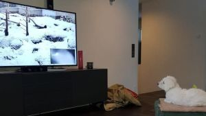 Valkoinen koira katselee sohvalla televisiosta Ahmaliveä