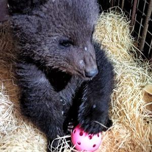 Aina karhunpentu Kuusamon suurpetokeskuksessa. Kuhmosta löytynyt orpopentu.