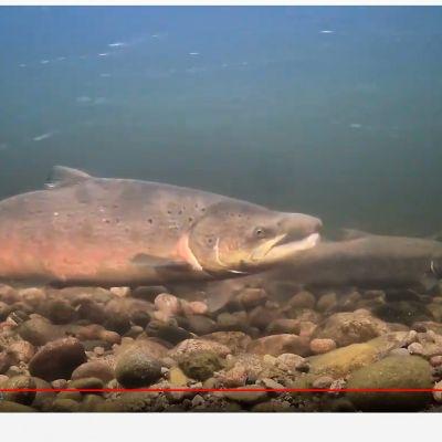 Vedenalaiskamerassa voi näkyä kerralla jopa useita isoja lohia kutupuuhissa.