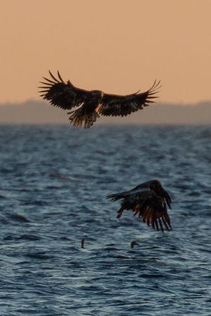 Två havsörnar flyger över havet där två ejdrar simmar.