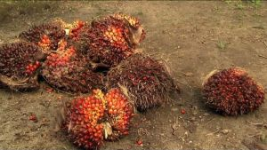 Palmun hedelmiä, joista tehdään palmuöljyä