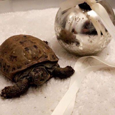Sköldpadda på en vit matta bredvid en julgransboll.