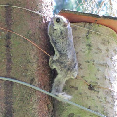 Lämminneet säät ovat saaneet Töysän liito-oravatkin innostumaan hääliitoihinsa pesäpöntöstä toiseen.