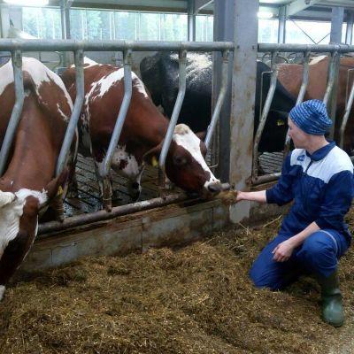 Päivi Hänninen ojentaa apetta lehmälle.
