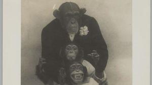 Kolme simpanssia ihmisten vaatteissa.