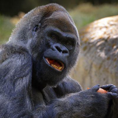 Ozzie-gorilla täytti 52 vuotta 26.4.2013 Atlantan eläintarhassa Yhdysvalloissa.
