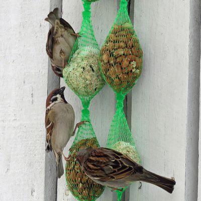 Varpunen ja kaksi pikkuvarpusta syövät pähkinöitä ja auringonkukansiemeniä seinään ripustetuista verkkopusseista.