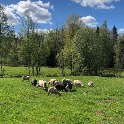 Lampaita pellolla