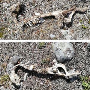 Janina hittade ett skelett ute på en holme och undrar vilket djur det handlar om.