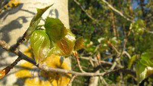 Asp med nyutspruckna blad
