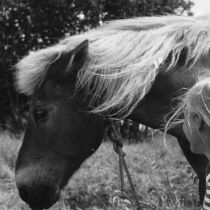 Mustavalkoinen kuva naisesta ja suomenhevosesta