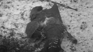 mv, kuollut lintu