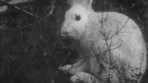 mv, jänis metsässä