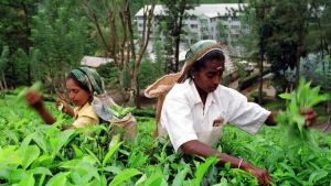 Kvinnor plockar te i Sri Lanka