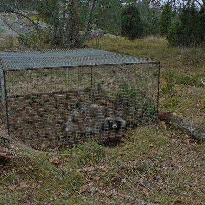 Mårdhund fångad i KANU-fälla. Fällan fångar mårdhunden levande och kollas/vittjas enligt jaktlagen dagligen