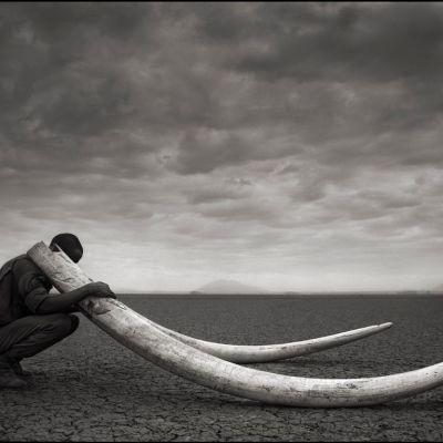 Metsänvartija pitelemässä tapetun norsun syöksyhampaita 2011