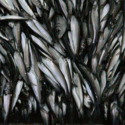Silakkaa kalastusaluksen ruumassa
