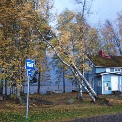 Valio-myrskyn kaatamia puita Koivuniemessä, Pyhäselän rannalla.
