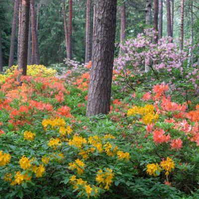 Kasvien kukintaa Alppiruusupuistossa.
