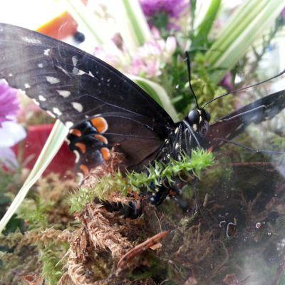 Papilio Troilus -perhonen maljakkoon tehdyssä terraariossaan.