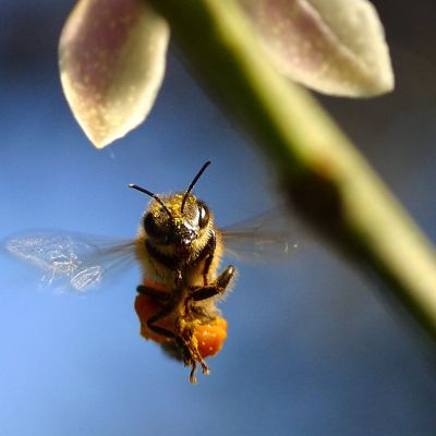 Lähikuva lentävästä mehiläisestä