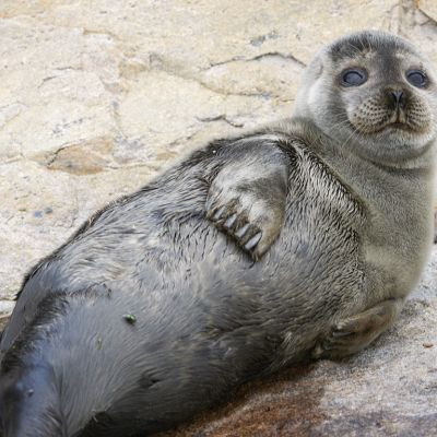 Keväällä syntynyt kuutti oli huonossa kunnossa noustessaan rantakiville.