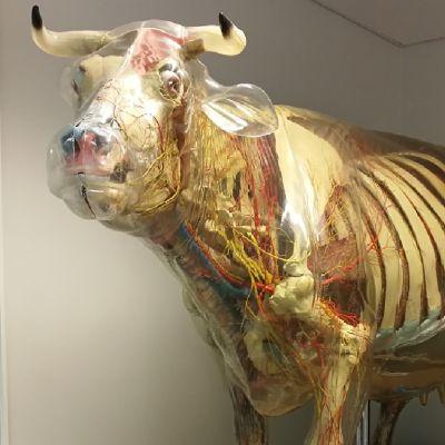 Tutkimuskäytössä ole läpinäkyvä lasinen lehmä Heidi.