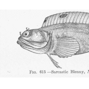 Piirroskuva kalasta: Sarcastic Blenny, Neoclinus satiricus Girard. Monterey