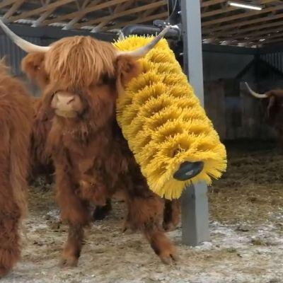 Mekaaninen rapsuttaja miellyttää tuotantoeläimiä. Kuvassa ylämaankarjan nauta käyttää karjaharjaa.