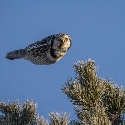 Kuvassa pöllö syöksyy torpedomaisesti ja katsoo kameraan.